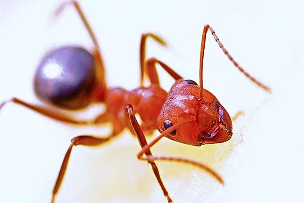 focus ant