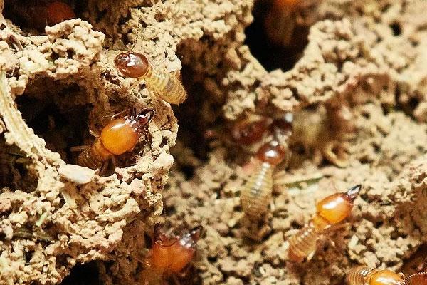 termites wood
