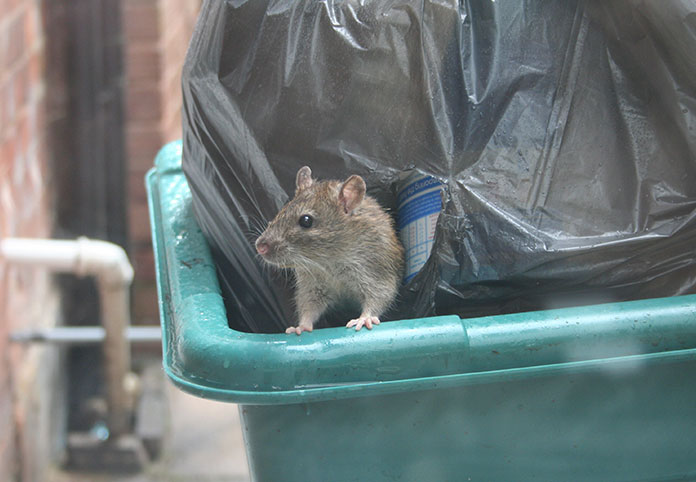 rat trash