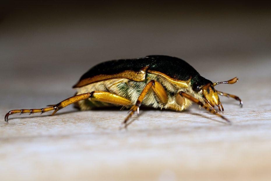 large cockroach